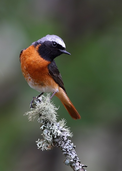 Male Redstart by Karen_Summers
