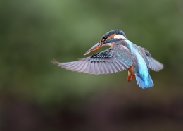 Another one of the Female Kingfisher