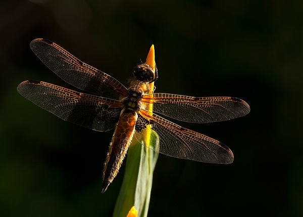 Four Spotted Chaser being backlite in early morning light by Guy_Rogers