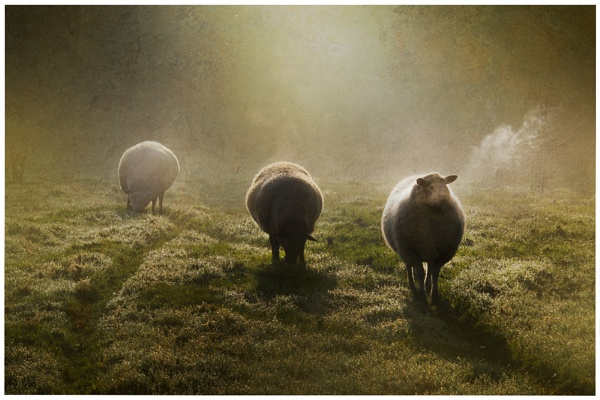 Sheep in the early morning. by Cor