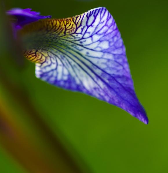 Iris by EventHorizon