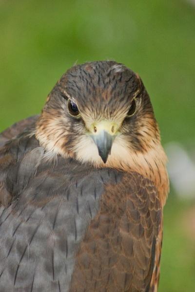 Peregrine Falcon by Davlaw
