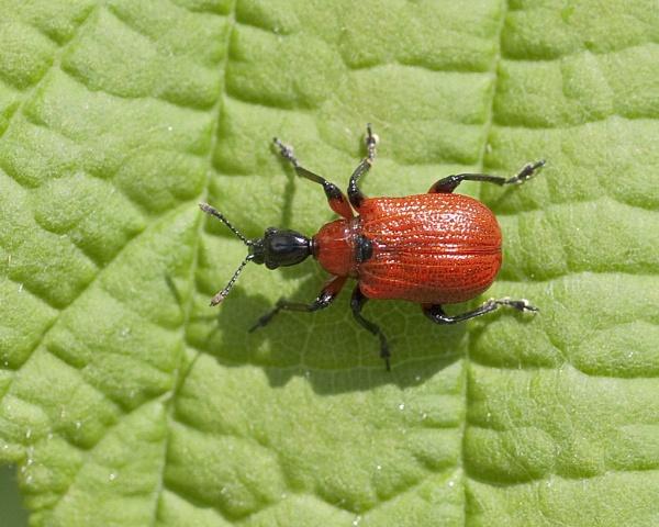 Hazel Leaf-roller Weevil (Apoderus coryli) by Gio