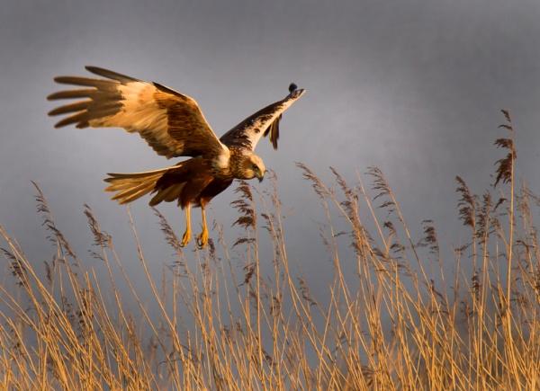 Harrier attack by ianrobinson