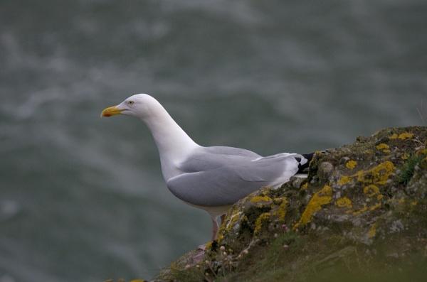 Herring gull by saltholme