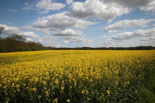 Rape seed field. by Steve2rhino