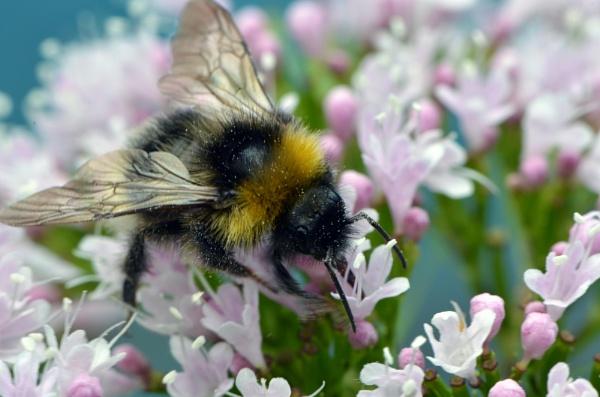 Honey Bee Feeding by chrismonks