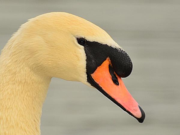 Swan - what else! by dhandjh