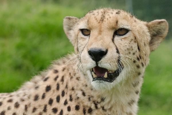 Cheetah by McClicker