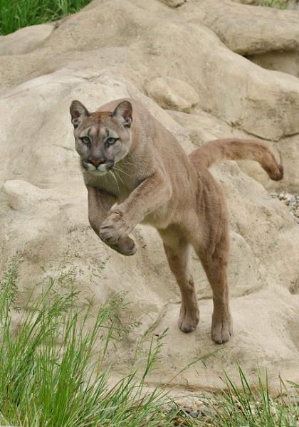 Puma by McClicker