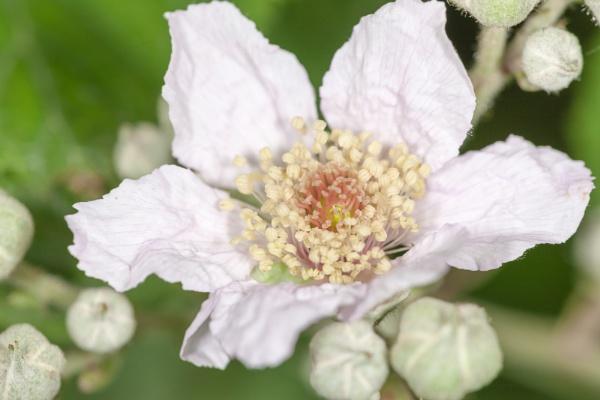 Bramble flower by livinglevels
