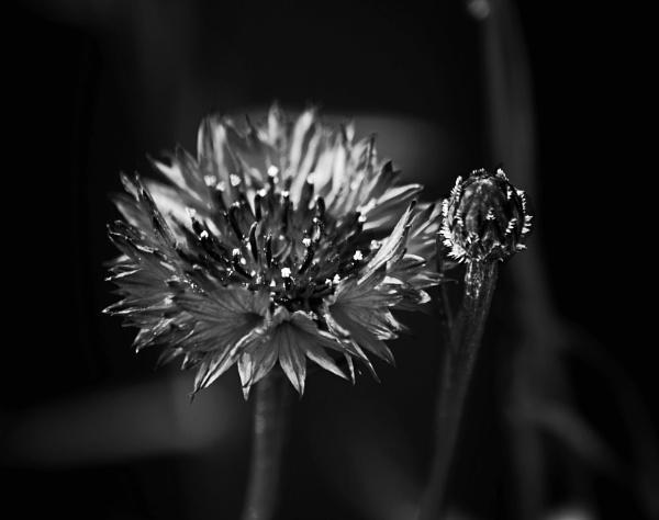 Cornflower by lostnspace2011