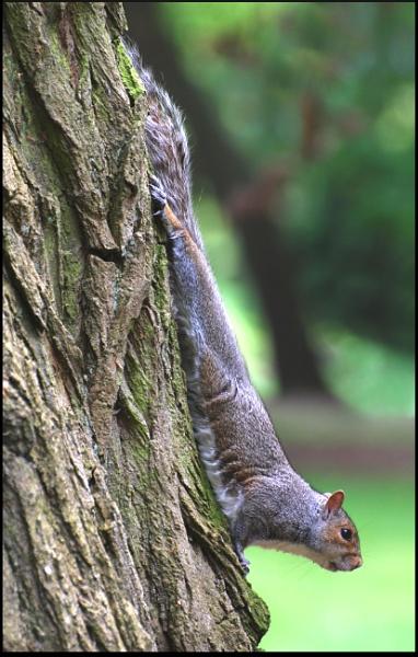 Grey squirrel by jinglis