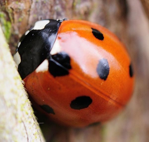 Ladybird by Cybalist