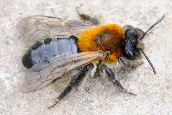 Bee by Cybalist