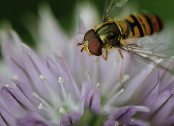 Hoverfly II by Cybalist