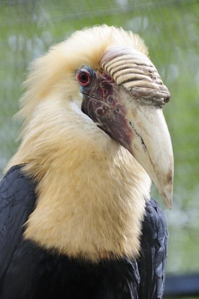Hornbill by Cybalist
