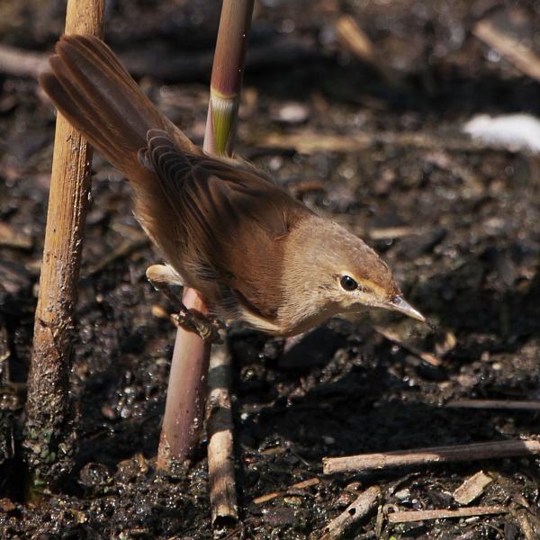 Reed Warbler, Aqualate Mere, by TT999