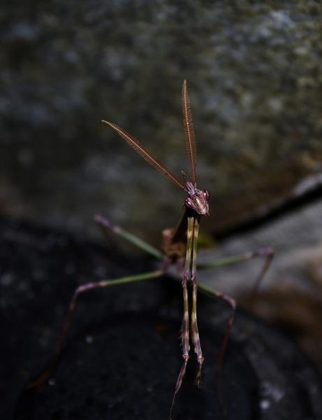 Devil Mantis