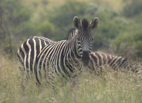 Zebra at Pilanesberg. by speybay