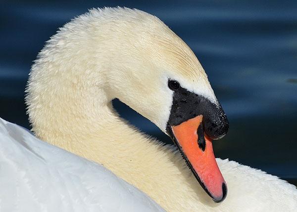Sunday Swan by StevenPrice