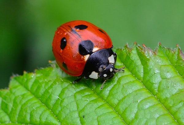 Ladybird by StevenPrice