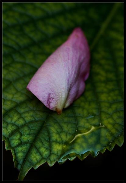 Petal On Leaf by Morpyre