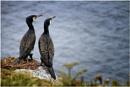 Nesting Cormorants