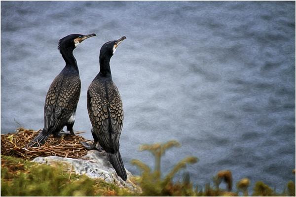 Nesting Cormorants by paulcr