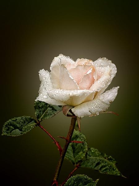 Rainy Rose by Big_Beavis