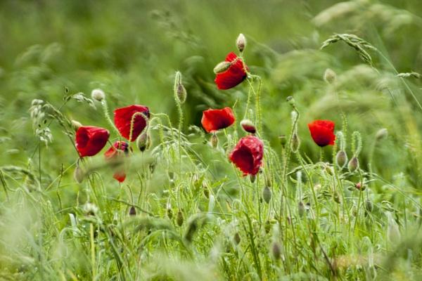 new poppys by mickr