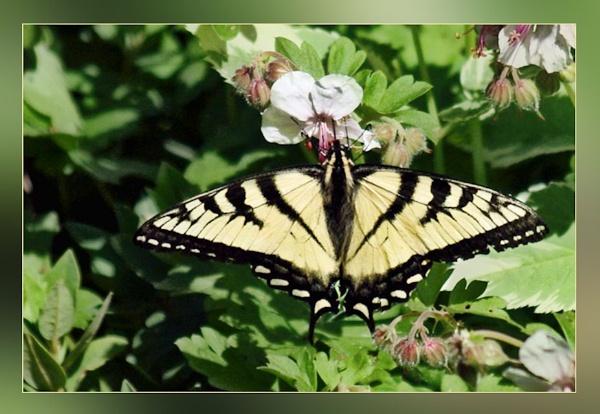 Eastern Tiger Swallowtail by Joline