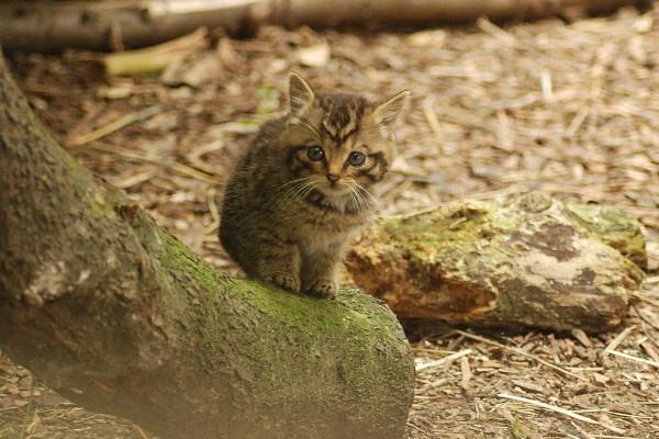 Scottish Wildcat kitten by jgmford