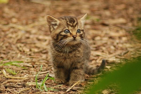 Scottish Wildcat Kitten 11 by jgmford