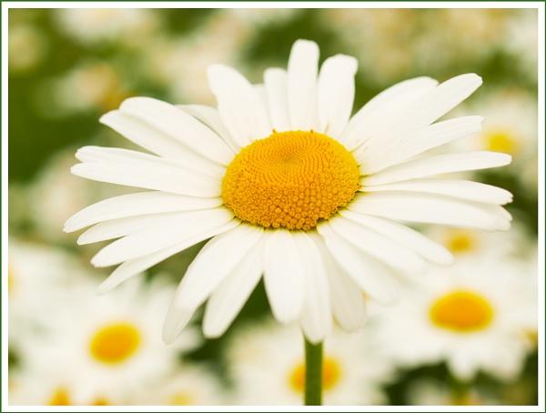 Daisy Days ... by Traceyflowerpots