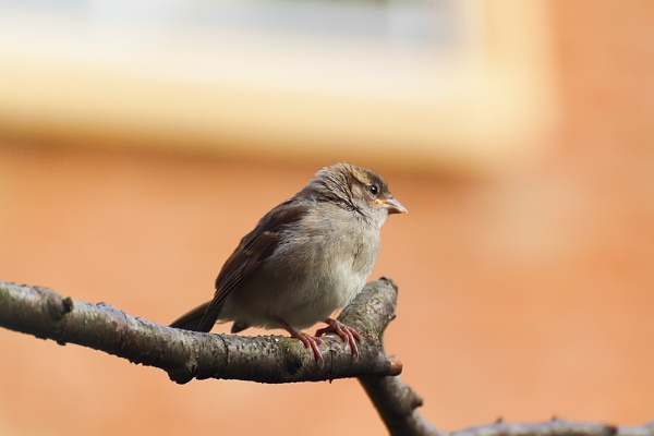 Young hen sparrow by magicaxeman