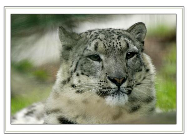 snow leopard by delboy1145