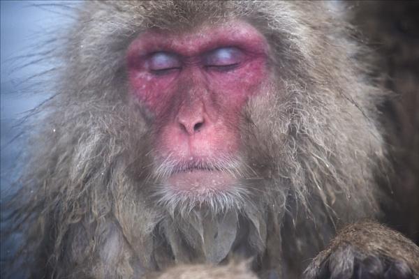 Macaque dreams by rontear