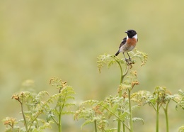 Stonechat on ferns