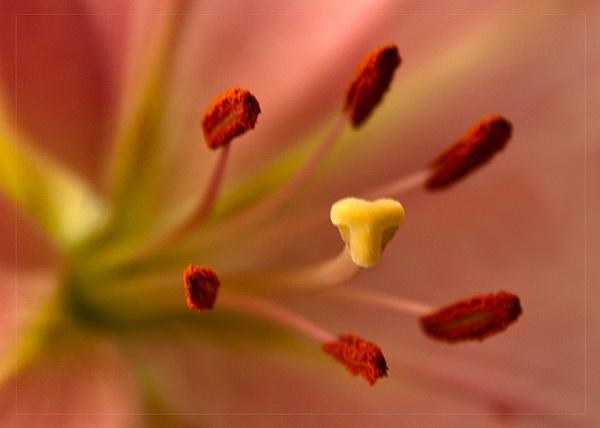 Lily Close Up by paddyman