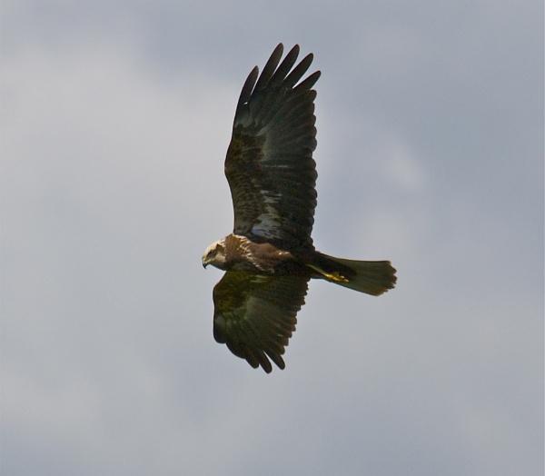Marsh Harrier-getting even closer by PaulLiley