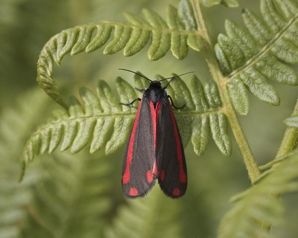 Cinnabar Moth (Tyria jacobaeae) by Gio