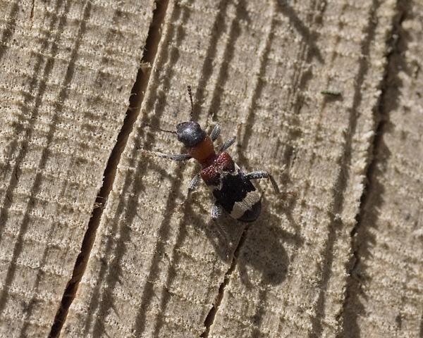Ant Beetle (Thanasimus formicarius) by Gio