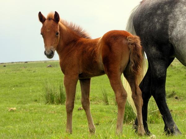 Dartmoor Foal by hughsey