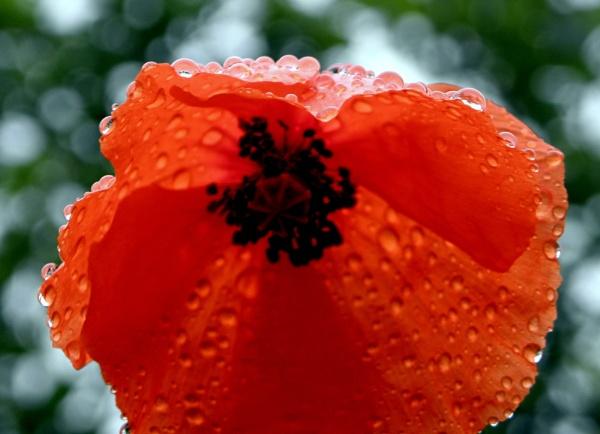 poppy raindrops by hughsey