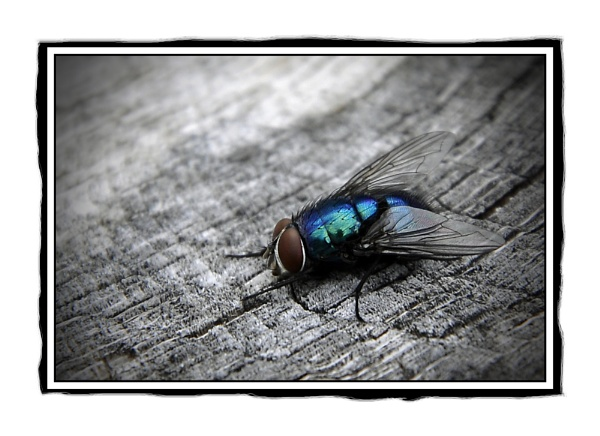Iredescent blow fly by tonypic