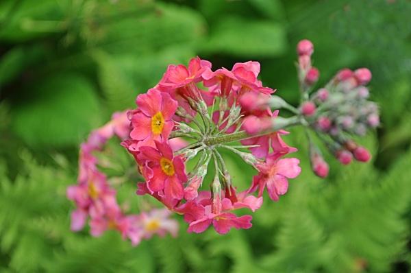 Candalabra Primula by MoragM