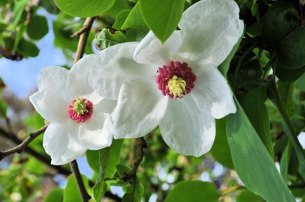 Magnolia Sieboldii by MoragM