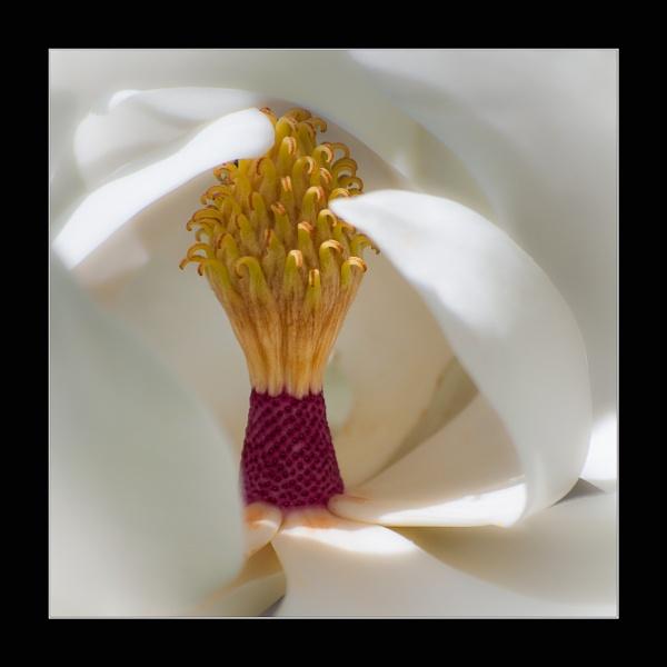 Magnolia Grandiflora by chavender