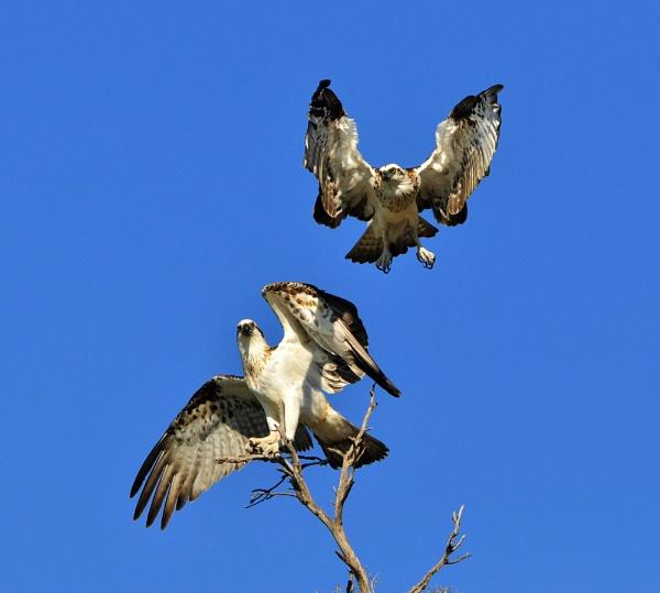 Osprey by s1000rr